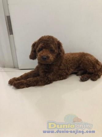 Pejantan Anjing Poodle Stud Service  - Pejantan Tiny Red Toy Poodle Lucu Foto Utama