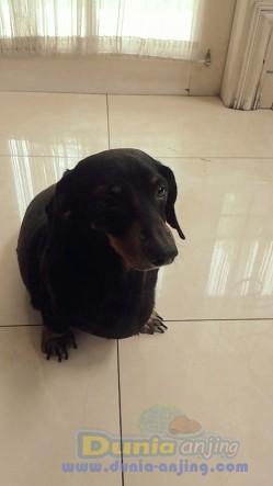 Pejantan Anjing Dachshund Stud Service  - Daschshund Betina Mencari Jodoh Foto Kedua