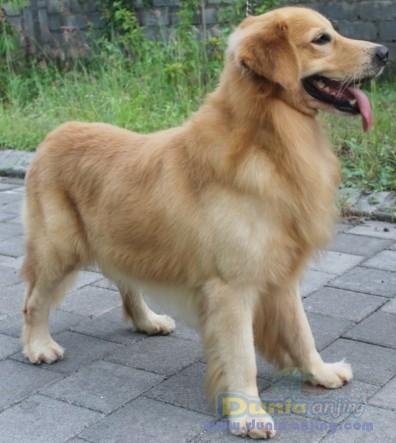 Pejantan Anjing Golden Retriever Stud Service  - Pejantan Golden Retriever Nusa Dua, Bali Foto Kedua