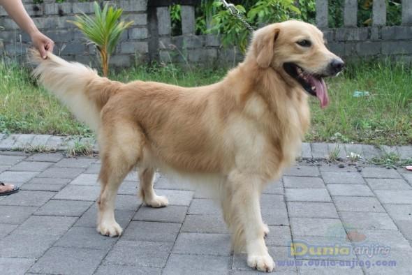 Pejantan Anjing Golden Retriever Stud Service  - Pejantan Golden Retriever Nusa Dua, Bali Foto Ketiga