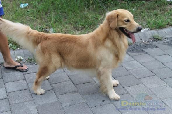 Pejantan Anjing Golden Retriever Stud Service  - Pejantan Golden Retriever Nusa Dua, Bali Foto Kelima