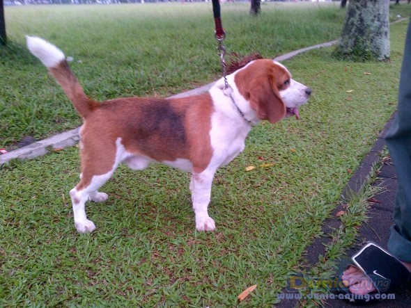 Pejantan Anjing Beagle Stud Service  - Pejantan Beagle Foto Kedua