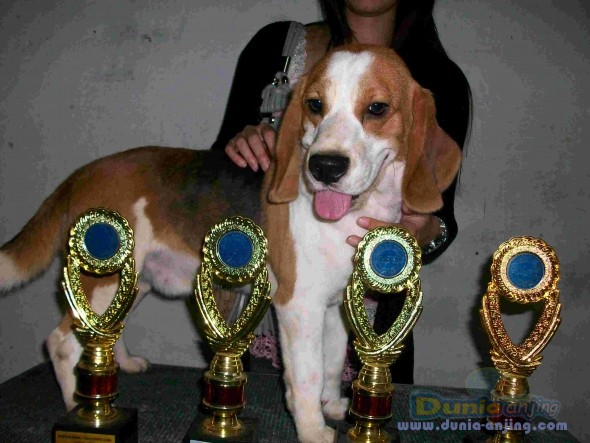 Pejantan Anjing Beagle Stud Service  - Pejantan Beagle Foto Keempat
