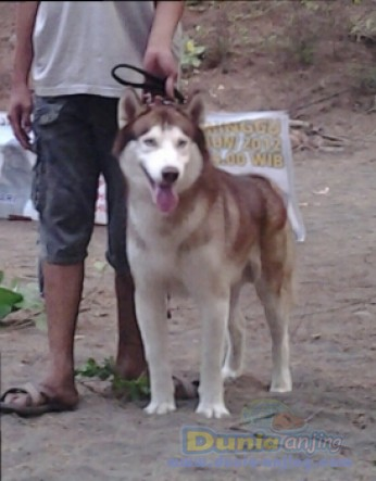 Pejantan Anjing Siberian Husky Stud Service  - Ready For Stund Siberian Husky Foto Utama