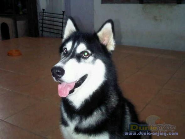 Pejantan Anjing Siberian Husky Stud Service  - Siberian Husky Peliharaan Foto Utama