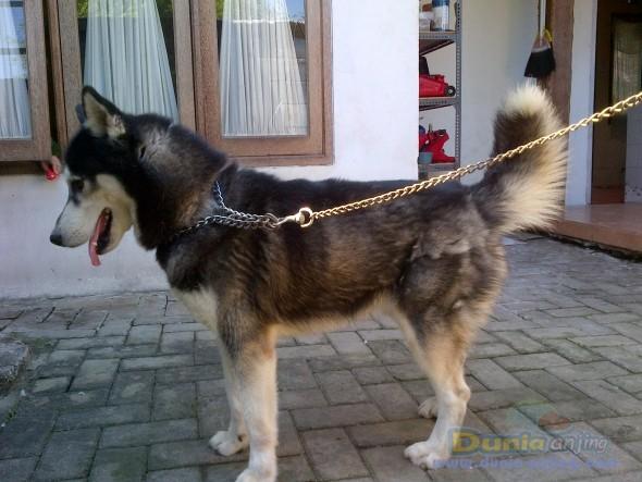 Pejantan Anjing Siberian Husky Stud Service  - Siberian Husky Peliharaan Foto Ketiga