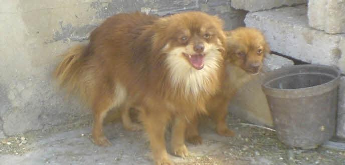 Anjing Sakit : Ciri, Penyebab dan Cara Mengobati