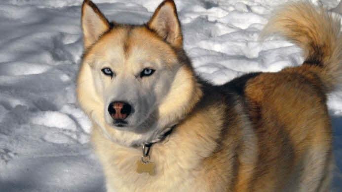 ciri ciri anjing siberian husky sesuai dengan namanya siberian husky