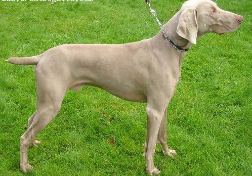 Dunia Anjing Standard Ciri Ciri Profil Anjing Weimaraner