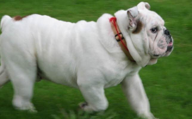Standard / Ciri-ciri / Profil Anjing Bulldog