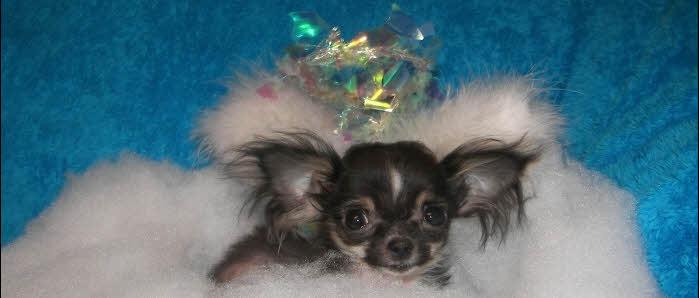 Ini Dia 10 Jenis Anjing Kecil yang Lucu dan Menggemaskan