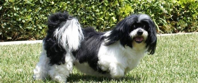 Ciri ciri anjing lhasa apso lhasa apso pertama kali ditemukan di biara