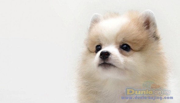 party pomeranian puppies for sale dunia anjing jual anjing pomeranian for sale 9668